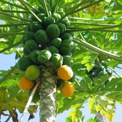 Papaya-Selection-1-1-500x500